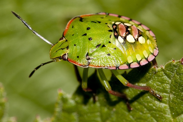 Southern green stink bug nymph by Panayotis1, via Flickr