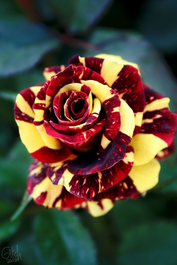 red and yellow rose- Love the color combination and roses are a wonderful flower! ;)