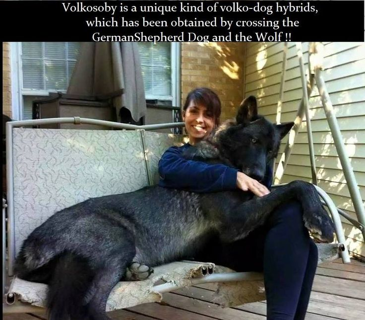 Facebook Amazing Things Wolf Hybrid Dogs Dogs Huge Dogs