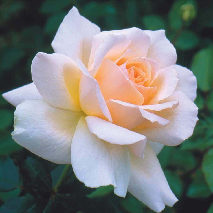 Rose 'Chandos Beauty' (Hybrid Tea Rose) Hardy Shrub