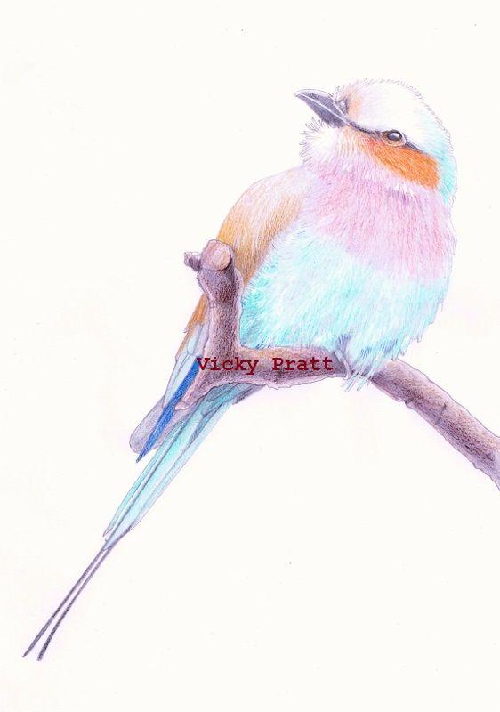 By Vicky Pratt. Lilac Breasted Roller Bird. Colour pencil. Photo reference by Chris Allsebrook. Find me on facebook or Instagram Vicky Pratt - Illustrator. www.vicpratt.wix.com/vickypratt