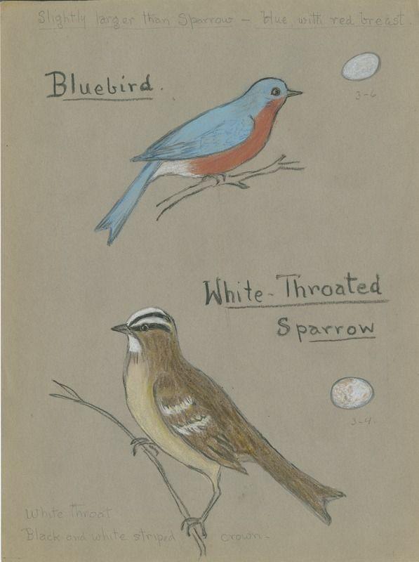 Bluebird, White-Throated Sparrow | saskhistoryonline.ca