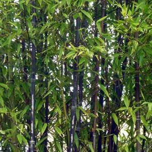 Photo de  Bambou noir, Phyllostachys nigra