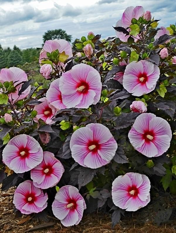 Hibiscus 'Starry Starry Night' PP 27,901 Starry Starry Night Hardy Mallow Plant Delights Purple foliage, tall
