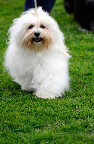 Did you know Greeks erected tombs to their Maltese? Do you love your Maltese that much? =) Find out more about this lovable dog on the BBS Healthy Dog Blog! #maltese #dog #love