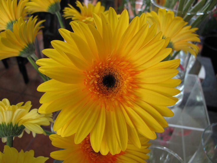 Gerbera Daisy scrimsflorist.com