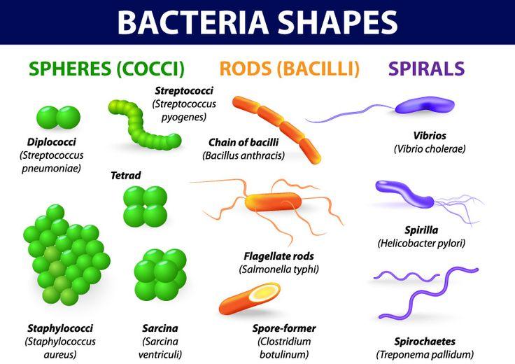 Bacteria Shapes ...