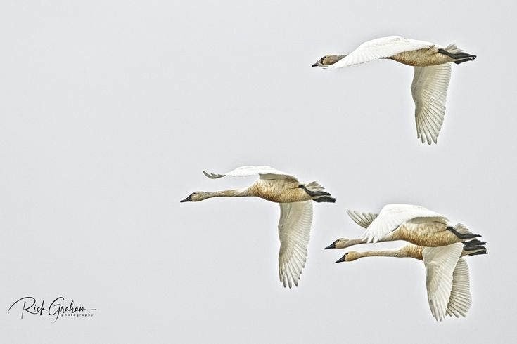 """Tundra Swans in Flight"" by Rick Graham: Bear River Migratory Bird Refuge offers the photographer wonderful shooting opportunities throughout the year. As of this photo, there are approximately 3,000 tundra swans migrated from the arctic region."