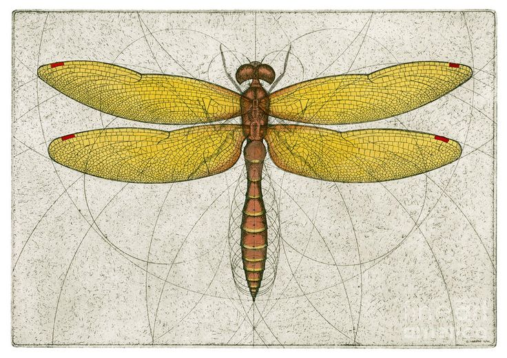 Eastern Amberwing Dragonfly Drawing  - Eastern Amberwing Dragonfly Fine Art Print