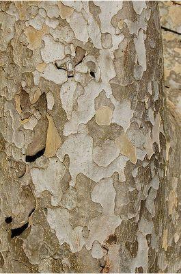 Parrotia persica | Persian Parrotia | Hamamelidaceae