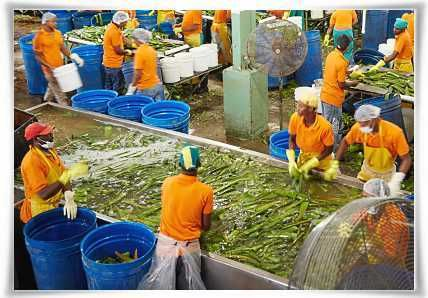 Main Leaf Washing of Aloe barbadensis Miller Plant #StabilizedAloeVera #AloeVera #ForeverLivingProducts