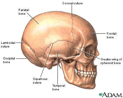9 best skeletal system images on pinterest   skeletal system, Skeleton