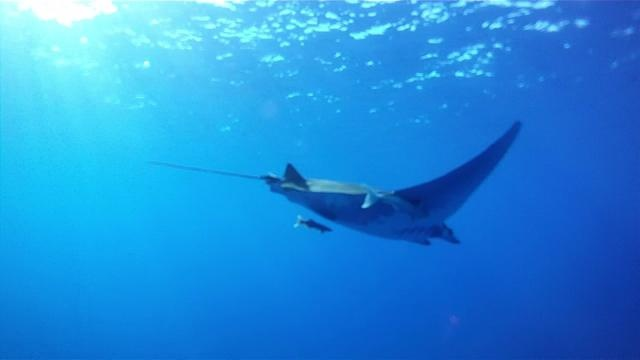 Swimming with manta ray @ Santa Maria, Azores by Scolpit. 19/09/2011  #Portugal