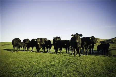 Angus cattle in New Zealand