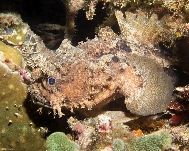 Halophryne diemensis - Escondendo-se entre os corais, seus apêndices ramificados de pele ajudam este peixe de 28 cm a ocultar-se de seus predadores e de suas presas.