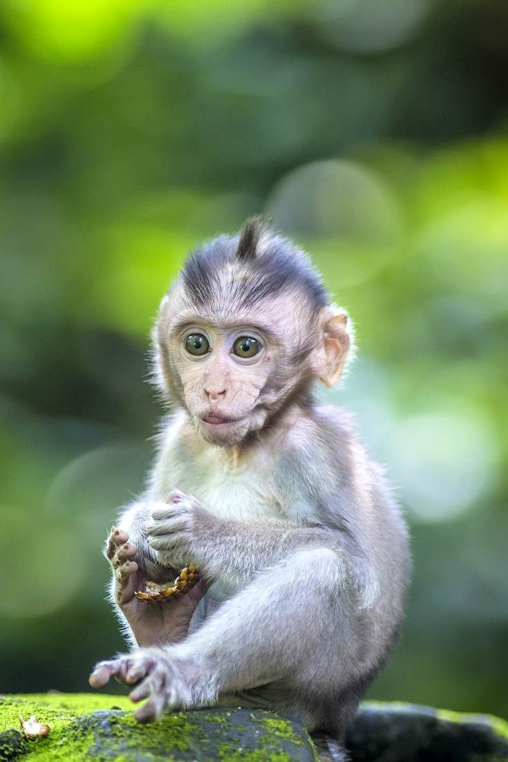 Baby Macaque in Ubud, Indonesia. Don't forget when traveling that electronic pickpockets are everywhere. Always stay protected with an Rfid Blocking travel wallet. https://igogeer.com for more information. #igogeer