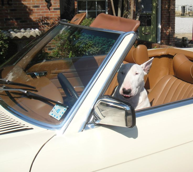 Helleeew Ladies... Spikey Lee Duncan #BullTerrier #dogs