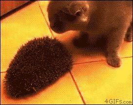 hedgehog x cat
