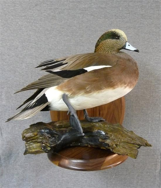 ... bird taxidermy can easily become a taxidermist's bread & butter