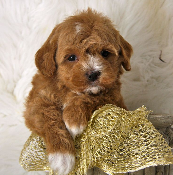 Maltipoos são um cruzamento entre as raças maltês e poodle. Eles foram originalmente criados para serem cães hipoalergênicos, já que ...