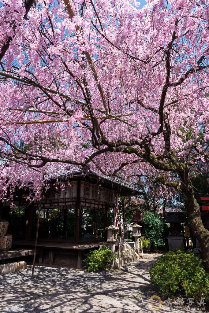 桜色の空 【水火天満宮】 Suika-tenmangu, Kyoto