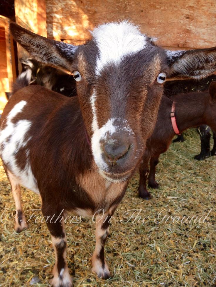 Authoritative Midget with goat confirm. join