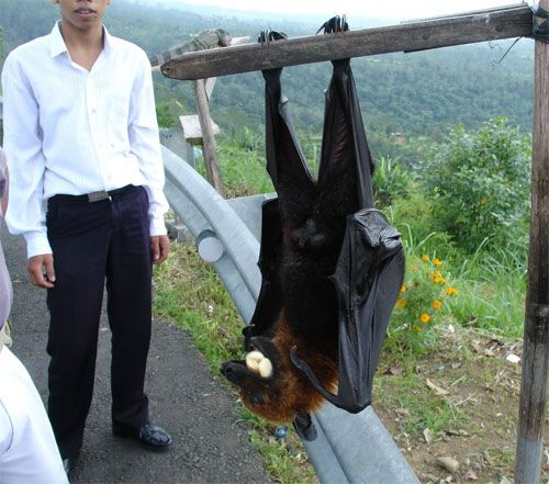 Another example of photo trickery. Although this IS a real bat (a Pemba flying fox), the picture was taken in such a way that the bat appears to be almost as large as the man standing behind it.  In actuality, these bats are 8 - 10 inches in length from head to toe.