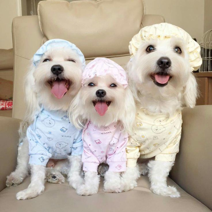 Maltese Puppies For Sale - Alabama USA