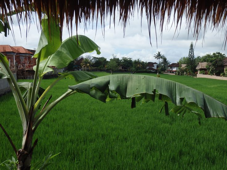 The view on the ricefield in Café Le Petit Paris