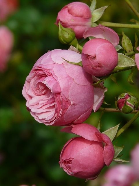 "on the bush - peonie buds   ...I think, ""Reine Victoria"" old Bourbon rose"