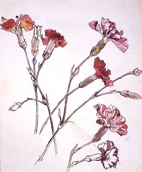Beatrix Potter, Carnation, about 1904