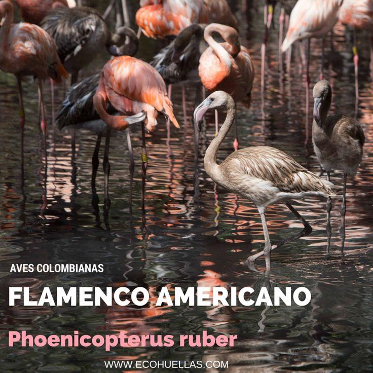 Flamenco Americano    David Osorio L & Rafael Rincón   Aviario Nacional De Colombia #EcoHuellas #EcoCielo #AvesColombianas