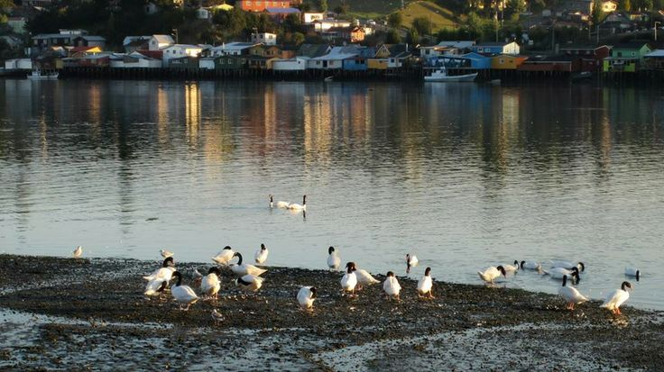 Cisnes de cuello negro en la bahía de Ten Ten en Castro, Chiloé. Foto de Christian Gutiérrez Rivas.