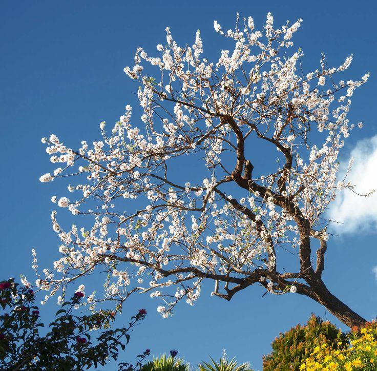 #Amandelboom bij #Moraira in #bloei in februari, de voorjaarsmaand bij uitstek aan de #CostaBlanca