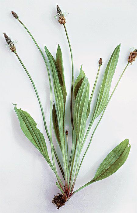 Jitrocel kopinatý (Plantago lancedata)