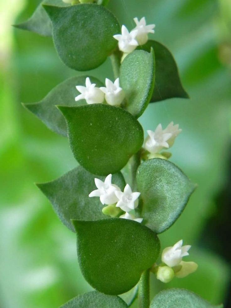Dischidia ruscifolia – Million Hearts- See more at…