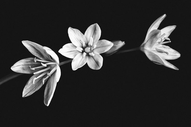 Black and white flower photo art. Perfect for home decor artwork. | Available for purchase at LucentCreations.com || #flower #artwork #homedecor #art #photo #gift #giftideas