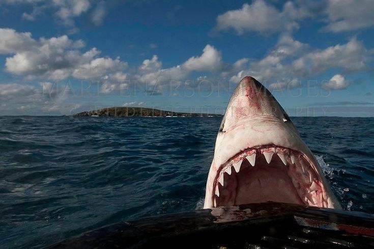 Great White shark - requin blanc - Jaws