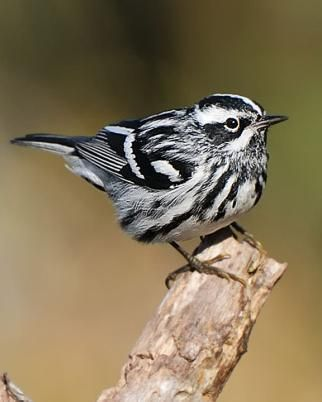 sweet boy perching on a branch end ready to fly off is a black-white warbler bird