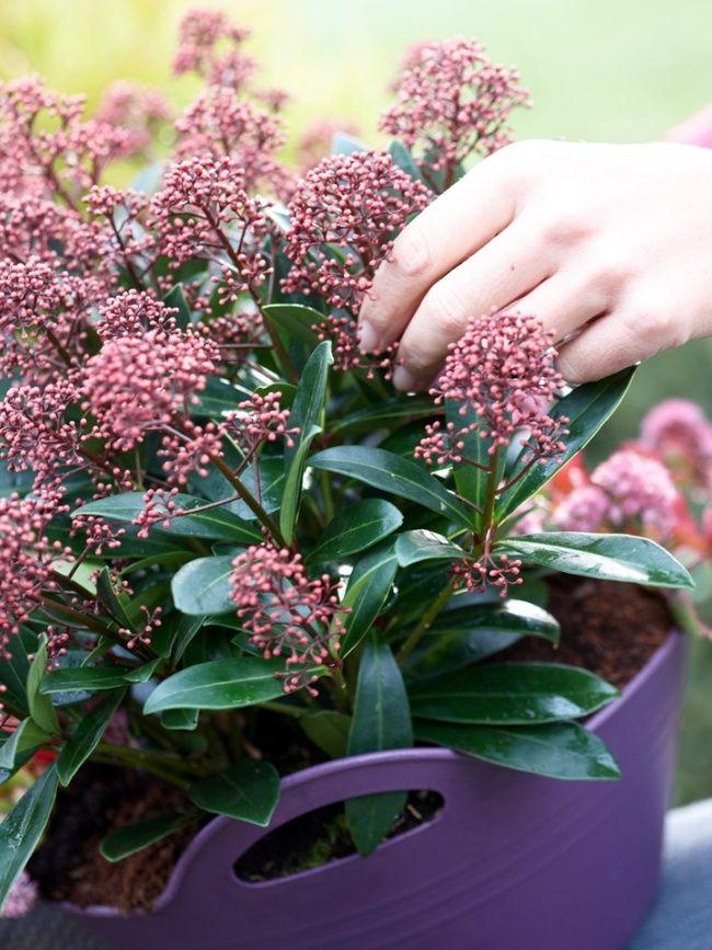 Skimmia Tuinplant van de Maand September - mooiwatplantendoen.nl