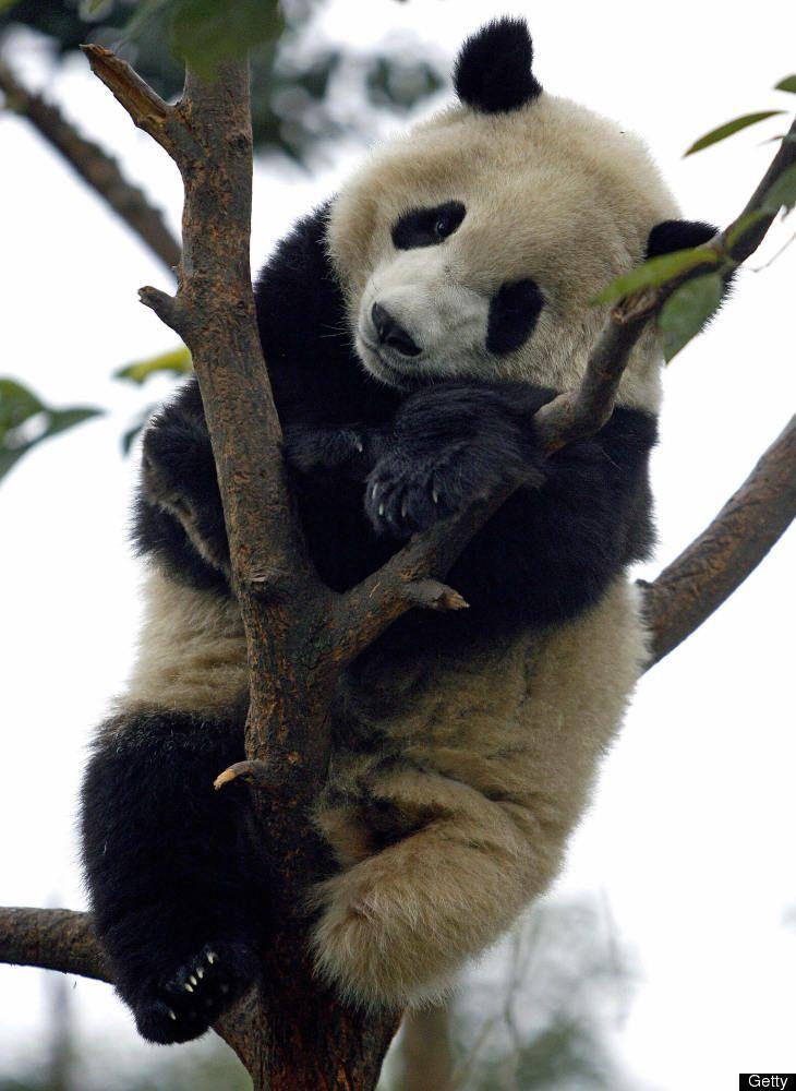 Панда коала картинки