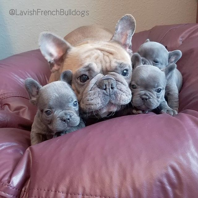 Blue Silver Babies Lavishfrenchbulldogs Frenchbulldog Dog With