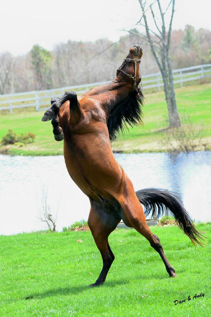 Bluefield Mystic- Morgan Stallion
