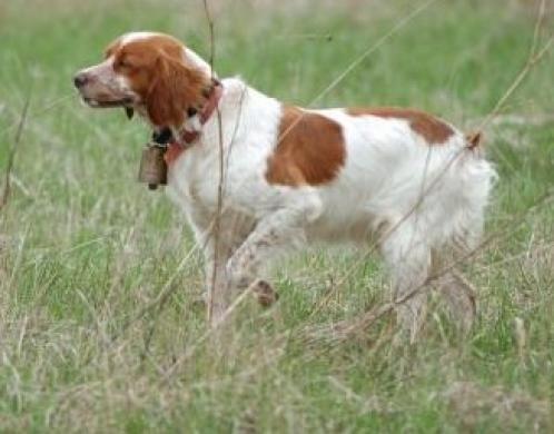 Dog Breeds List Britanny