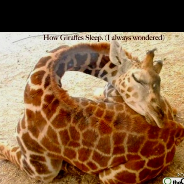 How do giraffes sleep?