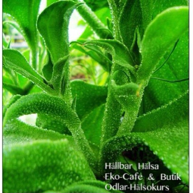 Magic green leafs from our garden. Called: ice plant (EN), Isört (SV). #odlarkurs, #rawfoodkurs, #gårdsbutik, #ekocafe, #hemleverans,#grönsmoothie, #isört, #ekologiskaisört, #rawfoodcafe,#egenodlade