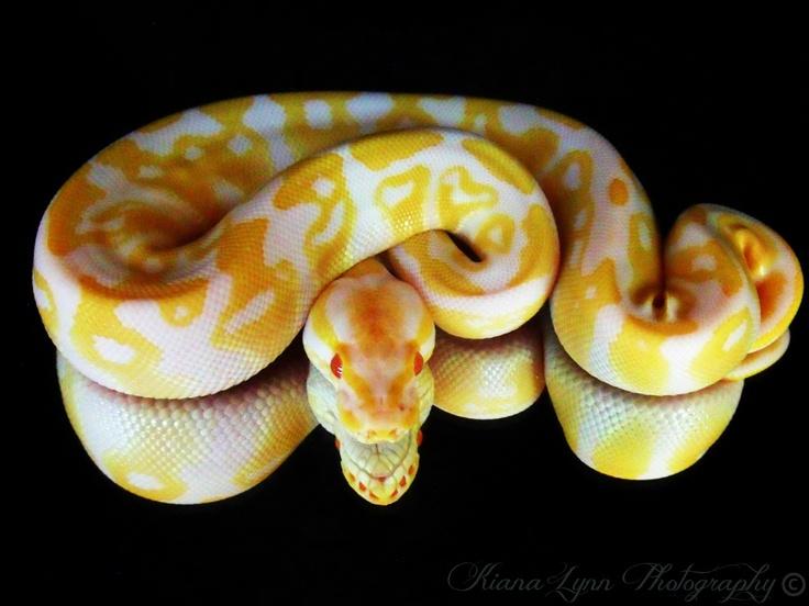 Albino Ball Python.