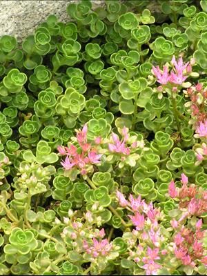 Sedum 'John Creech'  A dense groundcover with very small, green leaves that keep their intense color even in full sun. Its tight, compact habit keeps the weeds from poking through. Clusters of pinkish-purple flowers are produced in midsummer.  Low, spreading sedums form a solid mat of foliage which can be planted as a groundcover in sunny, dry areas. They are extremely drought tolerant and many are evergreen. These are terrific low-maintenance plants that always look their best.