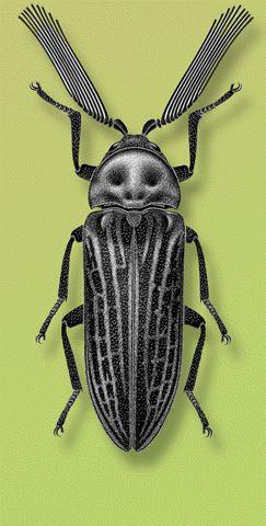 Callirhipis cardwellensis Blackburn. Locality- Australia. Artist- S. P. Kim on Flickr.