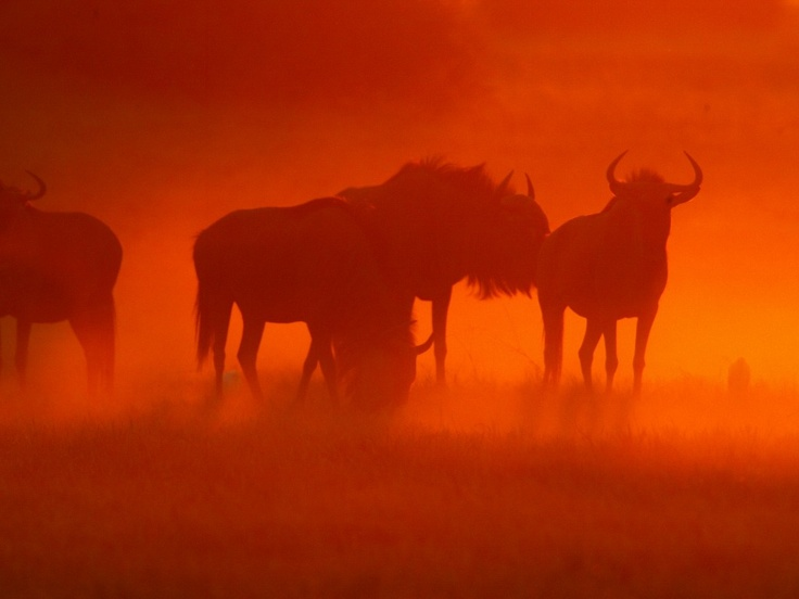 #travel #holiday #wildebeest #okavango